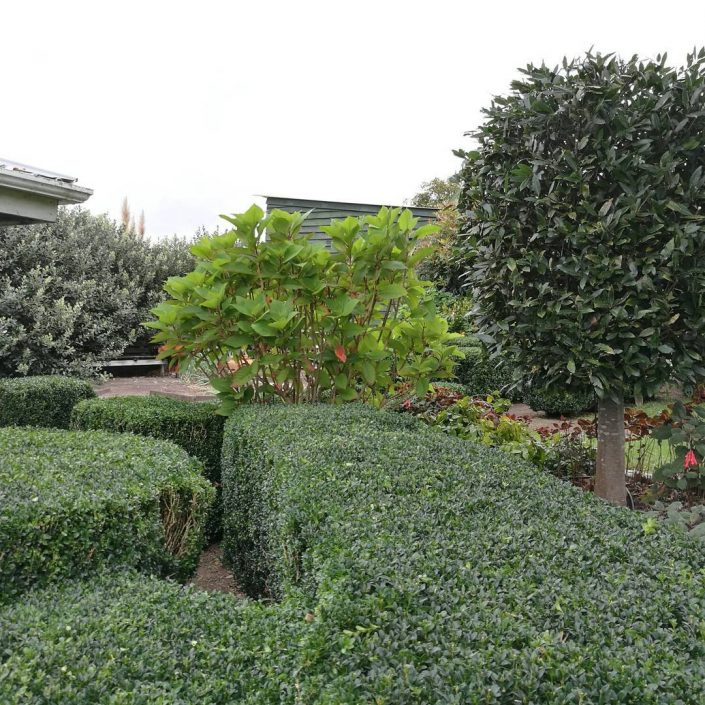 buxus hedge